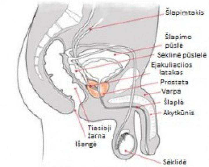 kokie varpos dydžiai žmogus veikia erekciją
