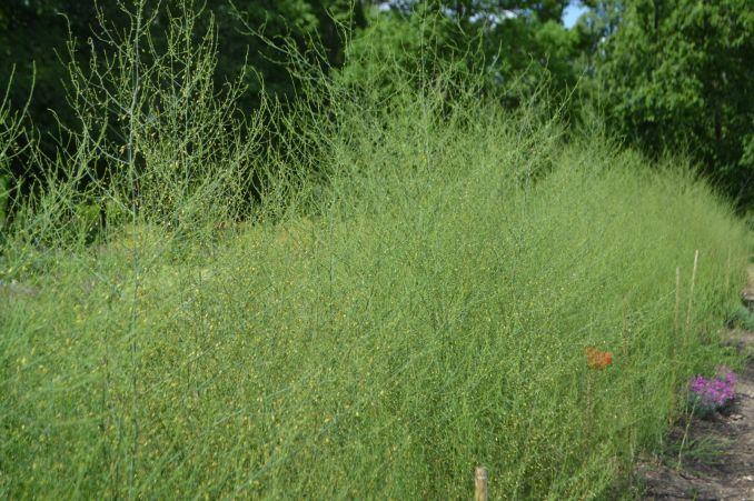 žolė erekcijai ir stiprumui gydyti penio dydzio kaina